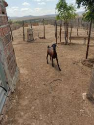 Duas cabra amojada