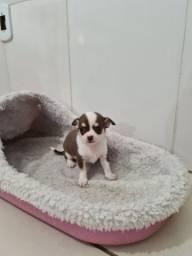 Chihuahua. Babys para reserva