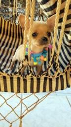 Minúscula!!! Menininha de chihuahua