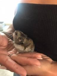 Vendo Hamster e Gaiola 100 reias