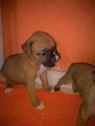 Vendo Filhotes da raça Boxer agora somente 2 machos R$ 400,00