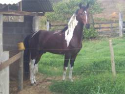 Cavalo mangalarga pra vender urgente