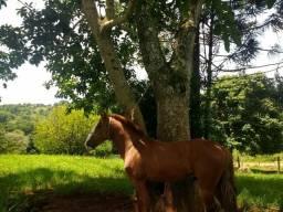Cavalos de raça Potro Criolo