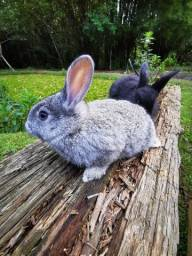 Filhotes de coelhos comum.