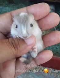 Filhotes de esquilo da Mongólia(gerbil)??