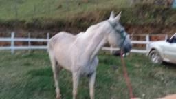 Cavalo macio puro de marcha,ótimo para criança mancinho