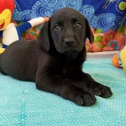 Labrador. Reserve já o seu com pedigree