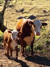 Vendo gado, touros