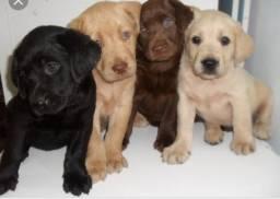 Labradores com pedigree