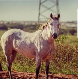 Égua quarto de milha de Laço