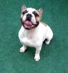 Bulldog francês macho para cobertura