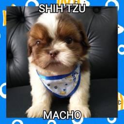 Shihtzu macho bb com 48 dias ja vacinado