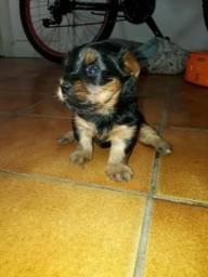 Mine YorkShire terrier