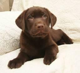 Labrador Chocolate em até 12x no cartão!