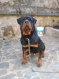 Rottweiler pedigree importado a Servia