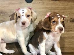 Beagles femeas disponíveis parcelamos 10x no cartão