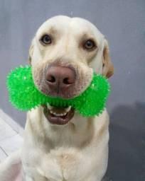Labrador a procura de namorada