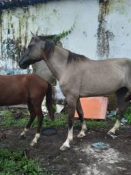 Égua Campolina registrada