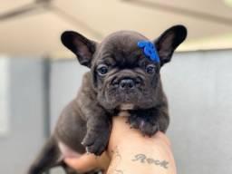 Bulldog francês macho mini