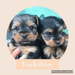 Yorkshire com pedigree e microchip em ate 18x
