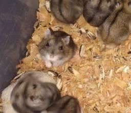 Criação inteira de Anão russo ou Hamster Chinês