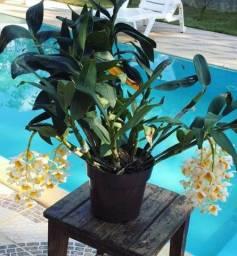 Coleção de Orquídeas