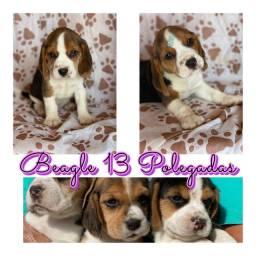 Beagle 13 polegadas (mini) com pedigree microchip ate 18x