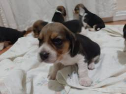 Beagle 13 polegada *pedigre