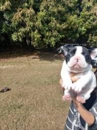 Bulldog francês femea