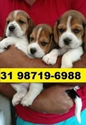 Canil Filhotes Cães Top Líder BH Beagle Maltês Yorkshire Basset Shihtzu Poodle Lhasa