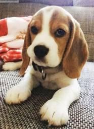 Beagle filhotinhos com excelente padrão com pedigree