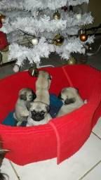 Filhotes de Pug abricó puros!!!