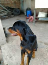Procura-se uma namorada Rottweiler