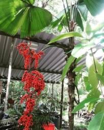 Sementes de Palmeiras Laca Vermelha Cyrtostachys