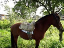 Égua colorada mansa