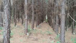 Floresta de Pinus Elliotti