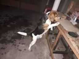 Beagle macho pra cruza