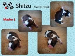 Shitzu Filhotes - Oportunidade