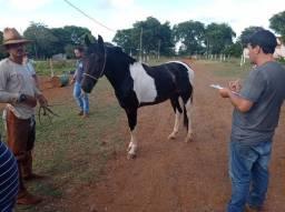 Lindo cavalo pampa