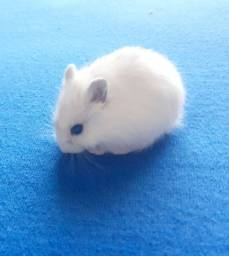 Hamster Chinês pequeninos
