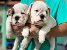 Bulldog inglês com pedigree e microchip em até 18x