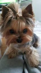 ¥orkshire Terrier e Yorkshire Biewer pequenos