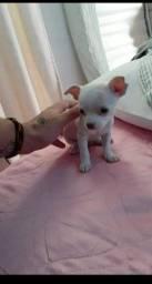 Chihuahua com 33 dias já está a pronta entrega