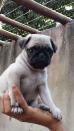 Pug mini c pedigree!