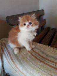 Lindo gatinho persa promoção