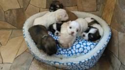 Cachorrinho de raça pura pedigree lhasa apso