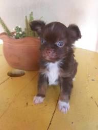 Chihuahua macho pelo longo pedigree CBKC