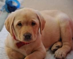 Linda ninhada de Labrador disponivel