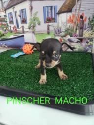 Pinscher a pronta entrega