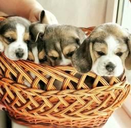 ..(beagle) filhote 13 polegadas com pedigree e garantia de saúde